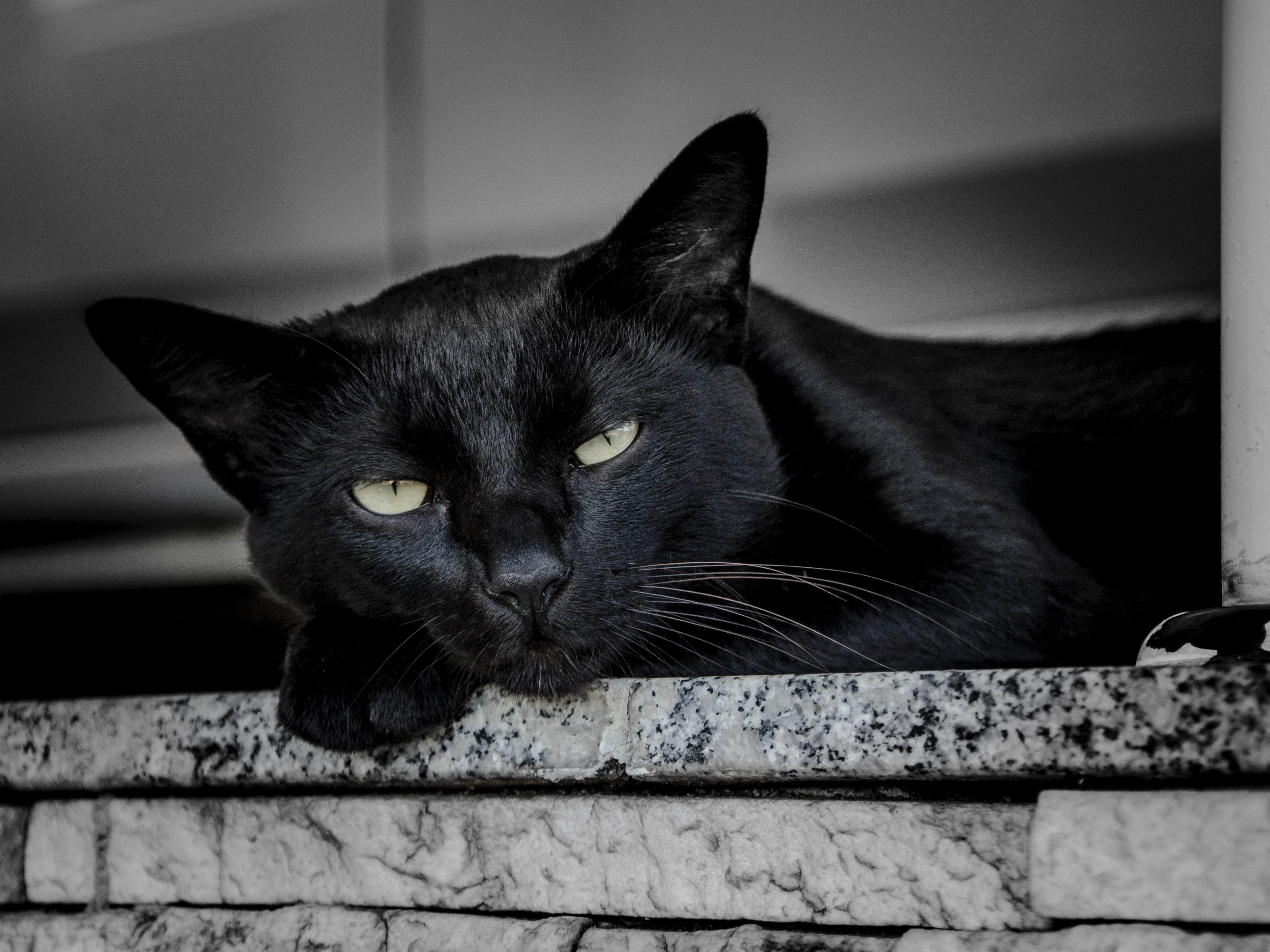 Chat noir : superstition, signification et histoire