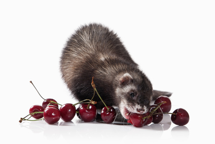 Furet affections digestives